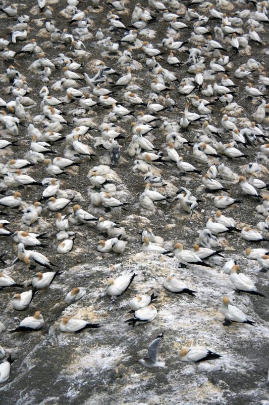 Völlig übertölpelt von einer Tölpelkolonie bei Auckland