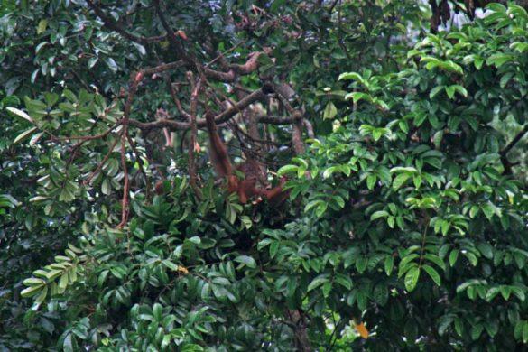 orang-utan-sumatra-bukit-lawang-01