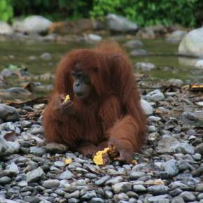 orang-utan-sumatra-bukit-lawang-03
