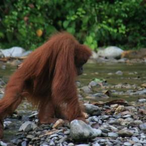 orang-utan-sumatra-bukit-lawang