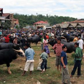 bueffel-markt-rantepao-sulawesi-fotos-001
