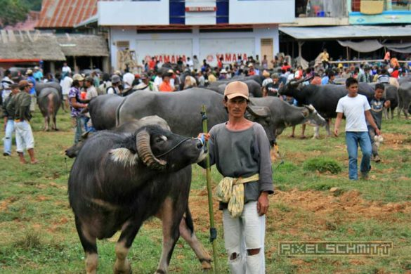 bueffel-markt-rantepao-sulawesi-fotos-004