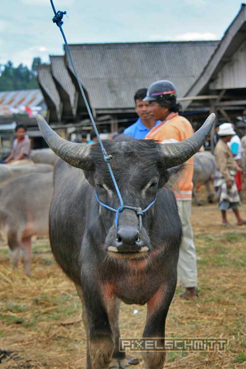 bueffel-markt-rantepao-sulawesi-fotos-013