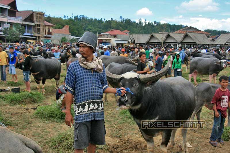 Viele Fotos von dicken Bullen in Rantepao auf Sulawesi