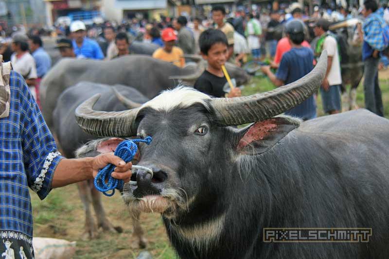 bueffel-markt-rantepao-sulawesi-fotos-016