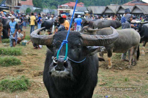 bueffel-markt-rantepao-sulawesi-fotos-017