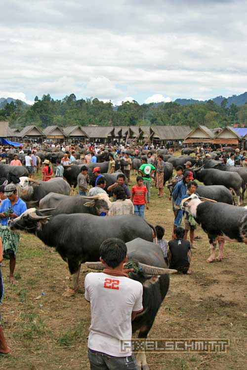 bueffel-markt-rantepao-sulawesi-fotos-018