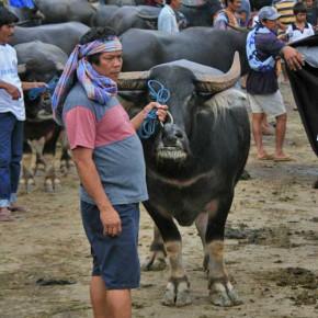 bueffel-markt-rantepao-sulawesi-fotos-020