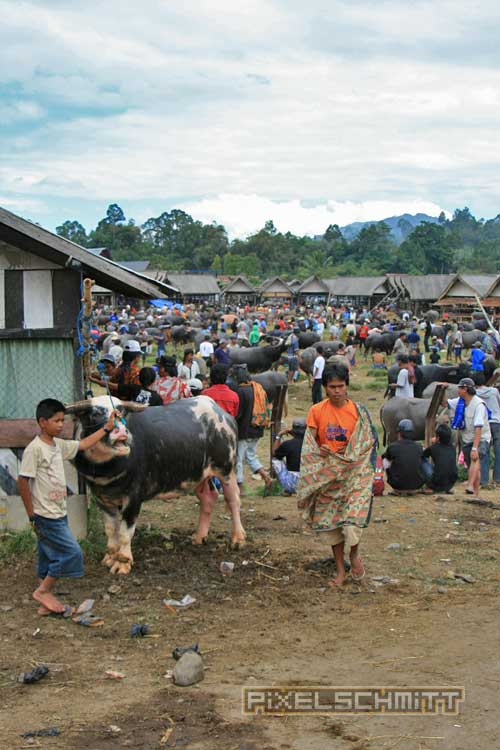 bueffel-markt-rantepao-sulawesi-fotos-021