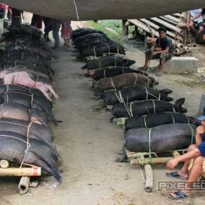 bueffel-markt-schweine-rantepao-sulawesi-fotos-008