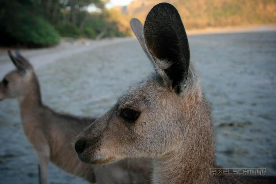 kaenguru-fotos-australien-0400