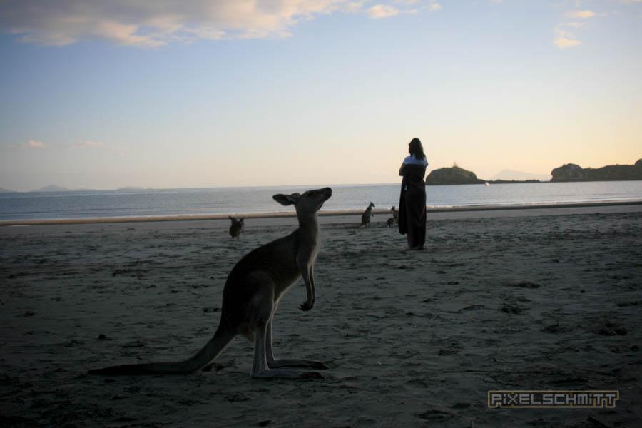 kaenguru-fotos-australien-0417