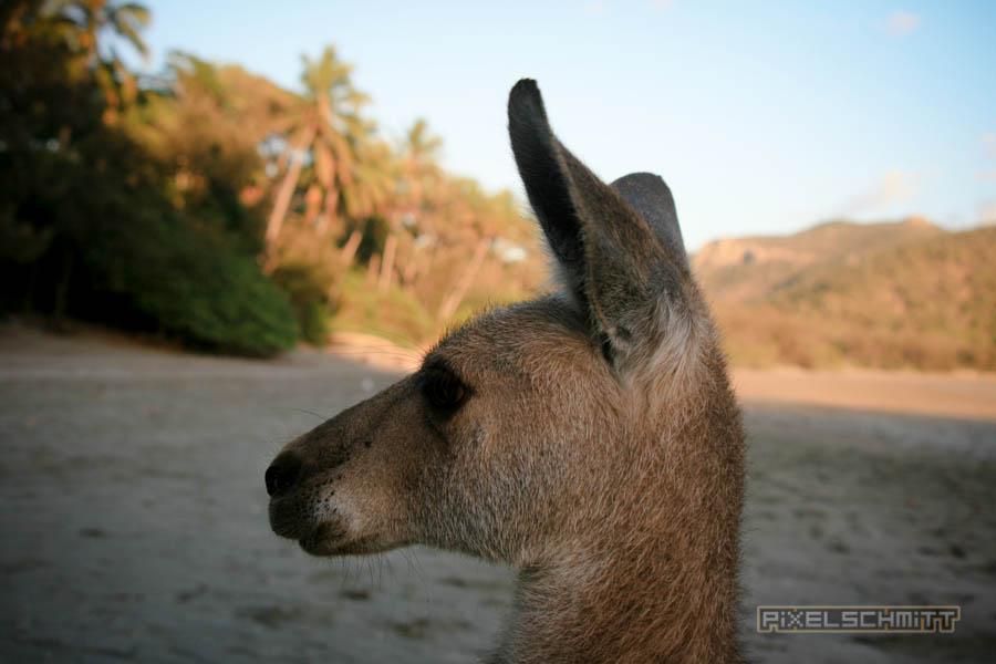 kaenguru-fotos-australien-0425