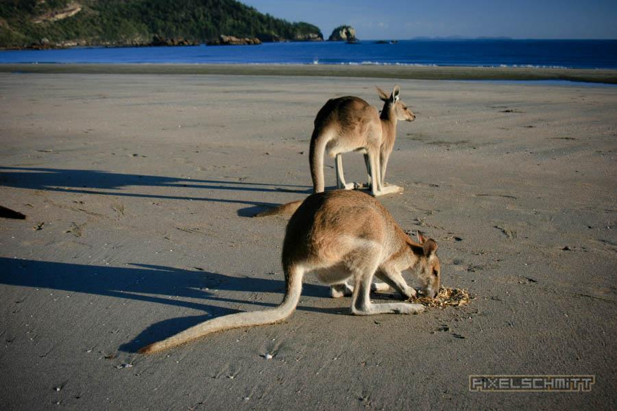 kaenguru-fotos-australien-0460