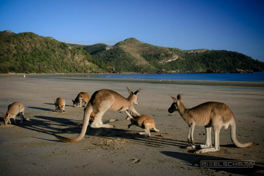 kaenguru-fotos-australien-0463