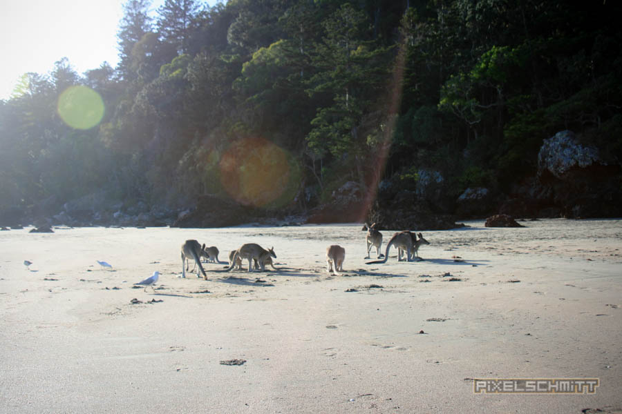 kaenguru-fotos-australien-0467