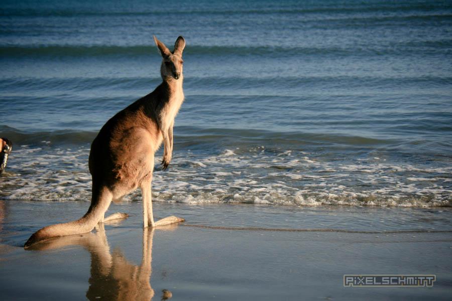 kaenguru-fotos-australien-0472