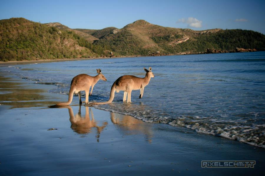 kaenguru-fotos-australien-0477