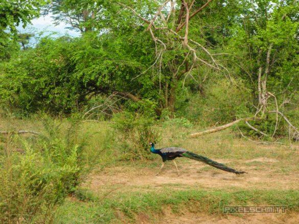 uda-walawe-national-park-safari-13