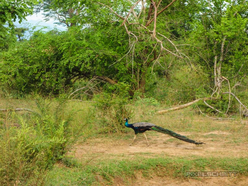 uda-walawe-national-park-safari-13