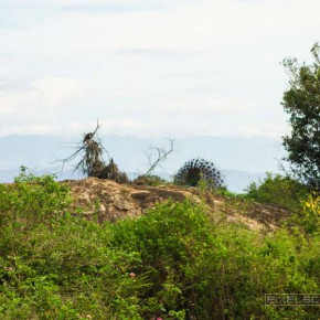 uda-walawe-national-park-safari-17