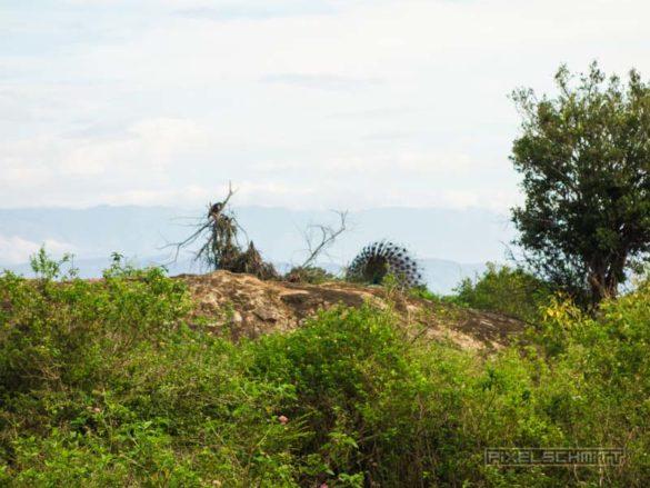 uda-walawe-national-park-safari-17