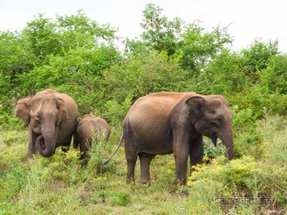 uda-walawe-national-park-safari-5