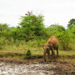 uda-walawe-national-park-safari-7
