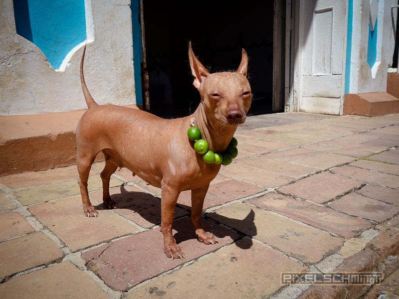 Hund in Trinidad
